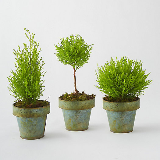 Lemon Cypress Topiary Trio