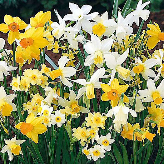 Narcissus 'Rock Garden Mix' Bulbs