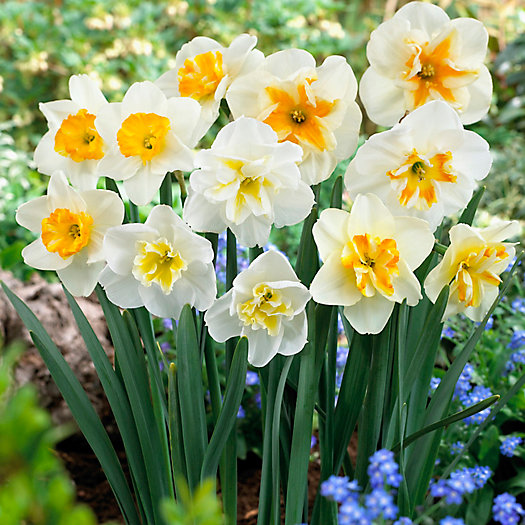 Narcissus 'Papillion Mix' Bulbs