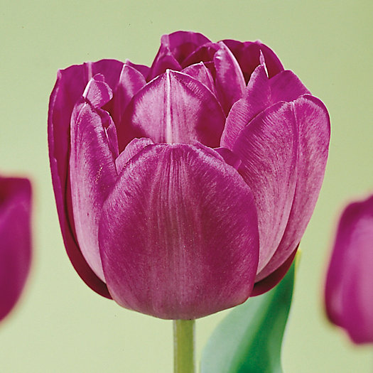 Tulip 'Blue Spectacle' Bulbs