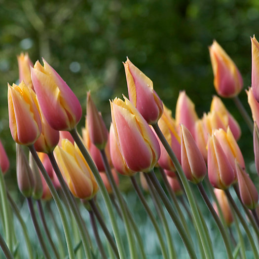 Tulip 'Blushing Lady' Bulbs
