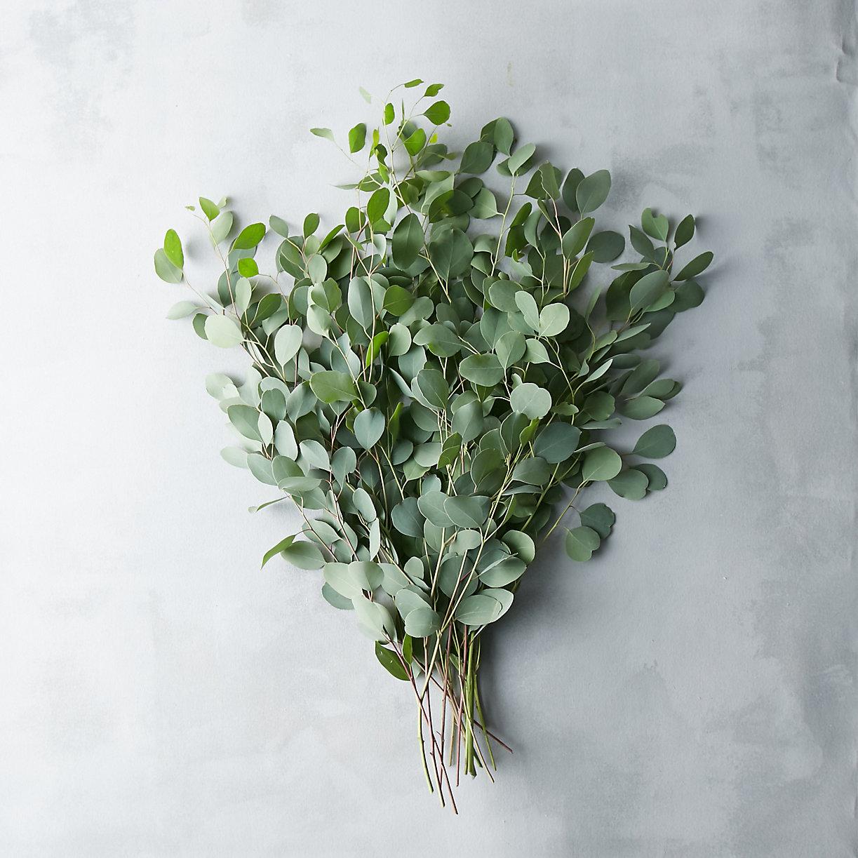 Fresh Silver Dollar Eucalyptus Bunch