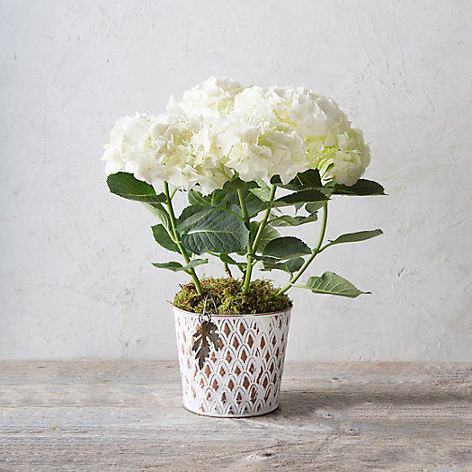 White Robe Hydrangea, Pinecone Pot