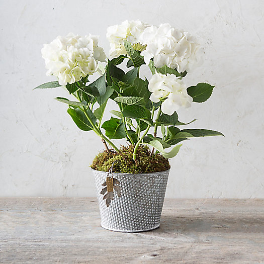 White Robe Hydrangea, Polka Dot Pot