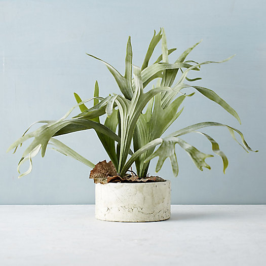 Potted Faux Staghorn Fern
