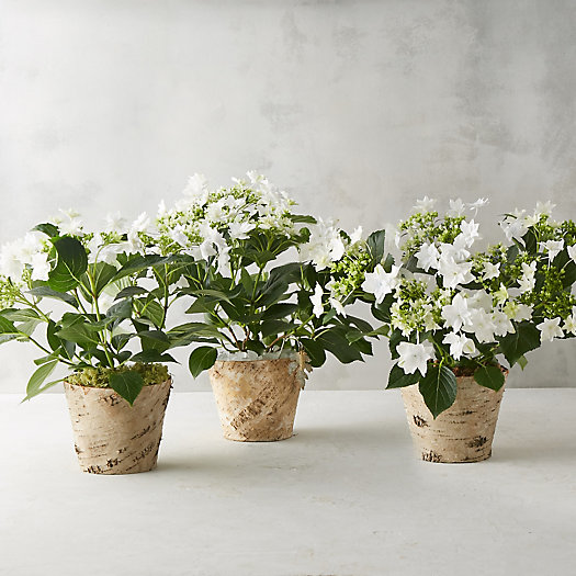 Build Your Own: Potted Shooting Star Hydrangea