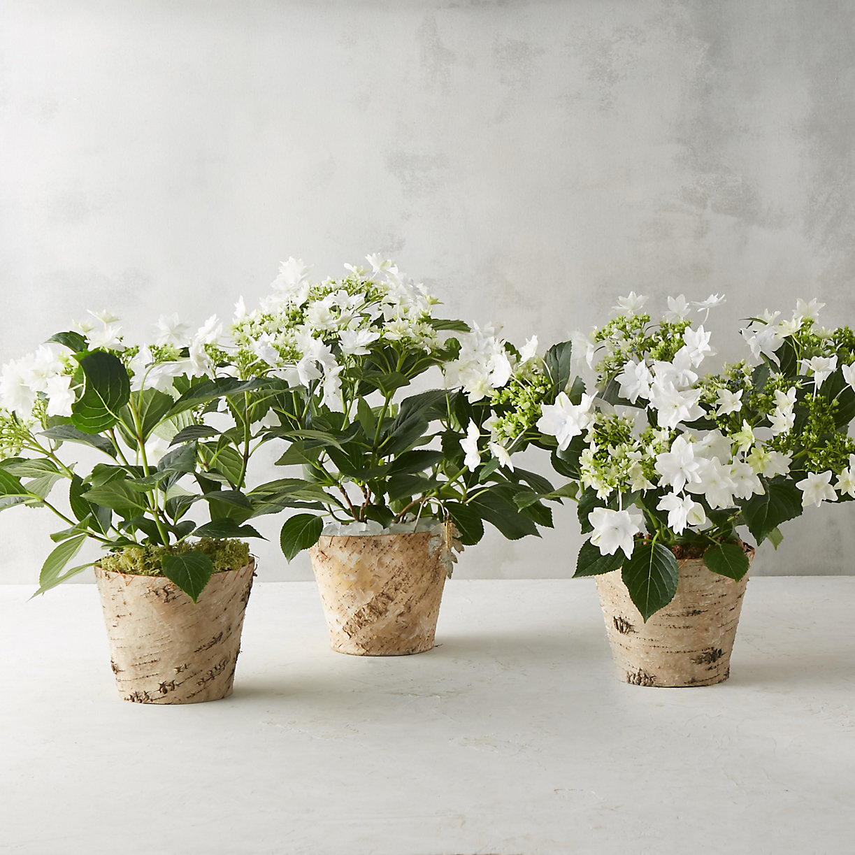 Build your own potted shooting star hydrangea terrain - Care potted hydrangea ...