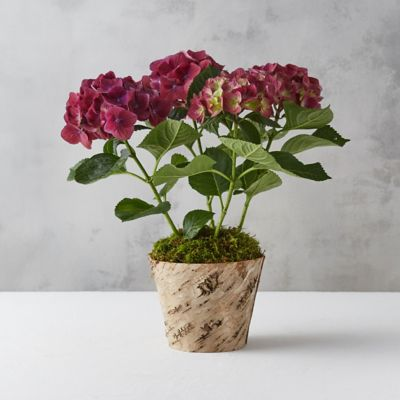 New Wine Hydrangea, Birch Pot