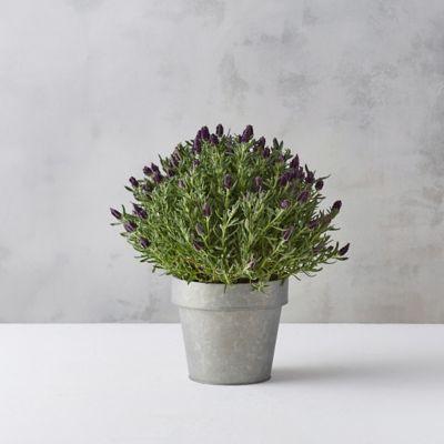 Spanish Lavender, Zinc Pot