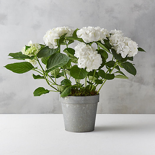 White Hydrangea, Zinc Flower Pot