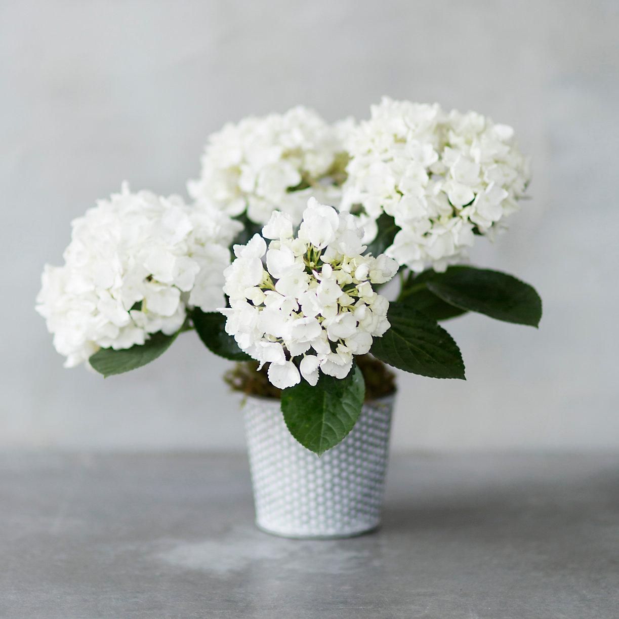 white hydrangea dotted pot loading zoom - White Hydrangea