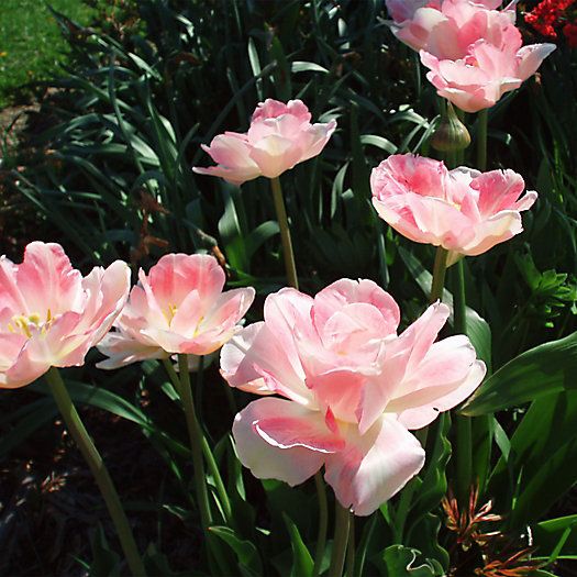 Tulip 'Pink Star' Bulbs