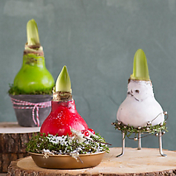 Give + Grow: Waxed Amaryllis Bulbs