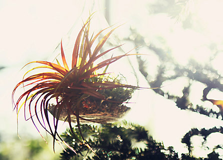 Blooming Spotlight: Tillandsia