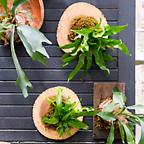 New in the Nursery: Staghorn Ferns