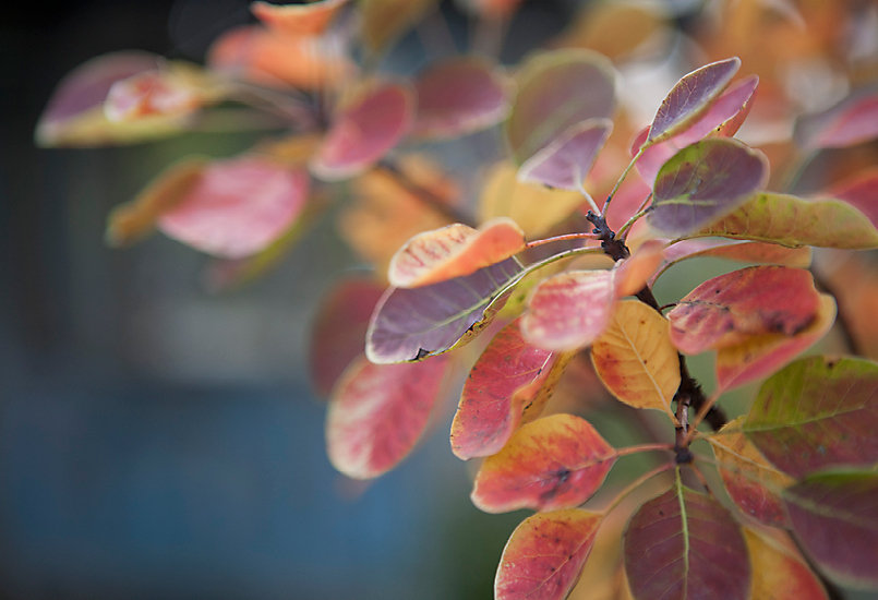 New in the Nursery: Smokebush