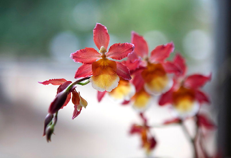 New in the Nursery: Oncidium 'Mauna Kea'