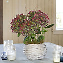 Blooming Spotlight: Vintage Hydrangea