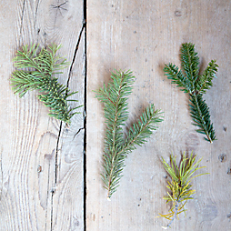 Evergreen Specimen Guide