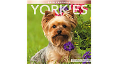 Yorkies 12x12 Monthly Wall Calendar (Item # LME323)