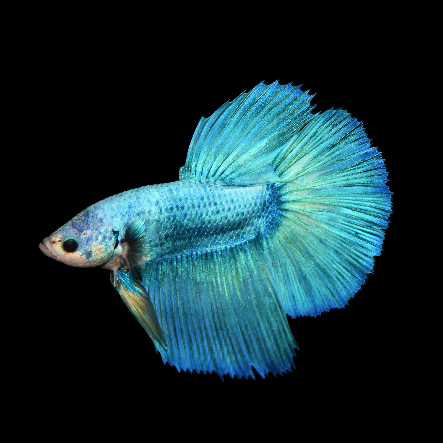 Male Deltatail Betta Betta Splendens X Large
