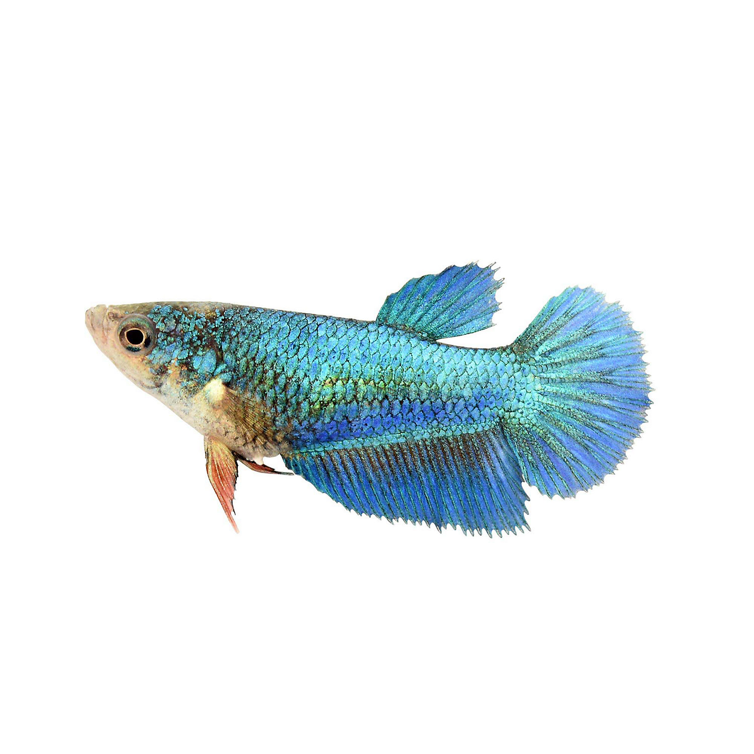 Female Halfmoon Betta Extra Large Siamese Fighting Fish X Large