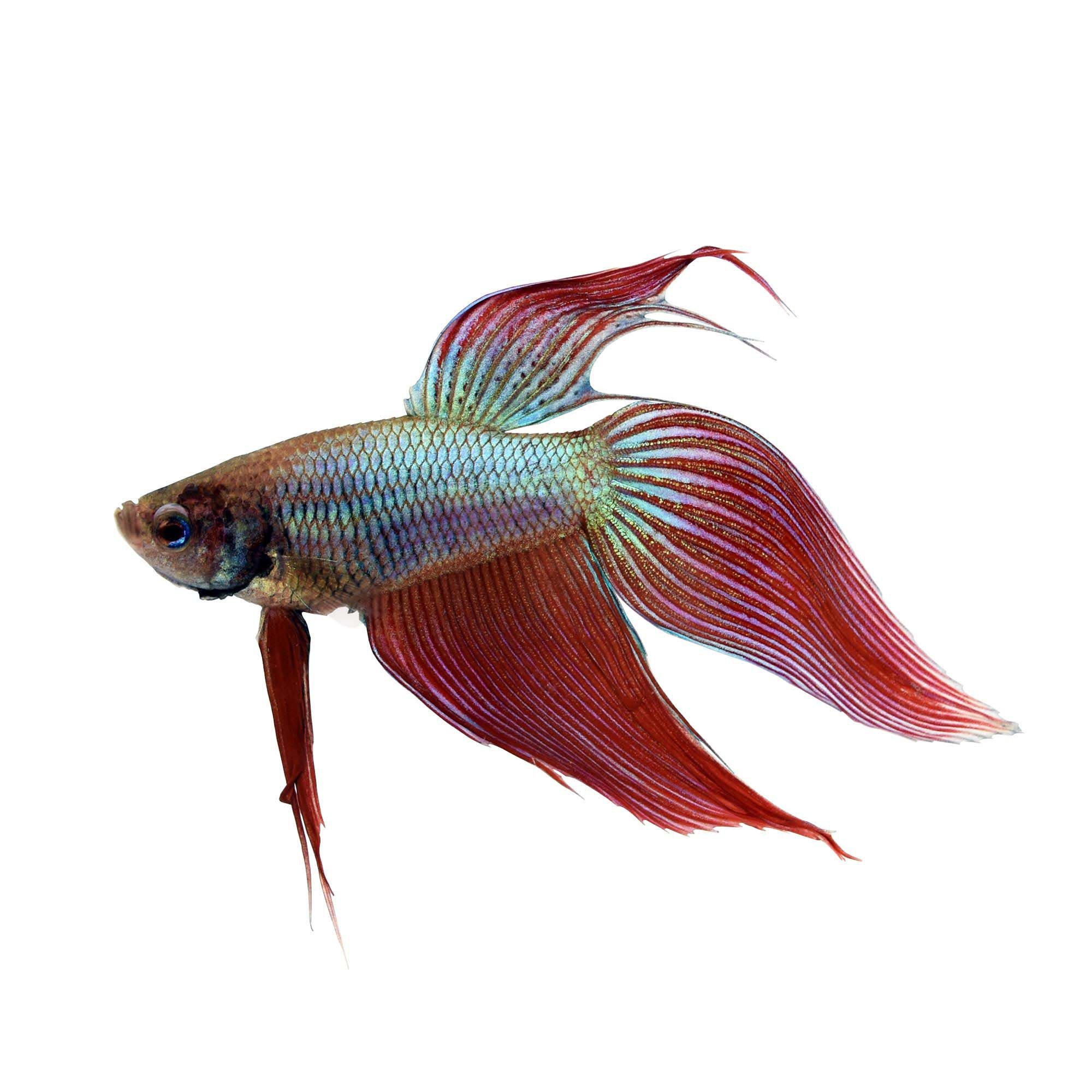 Male veiltail betta petco for Betta fish feeder