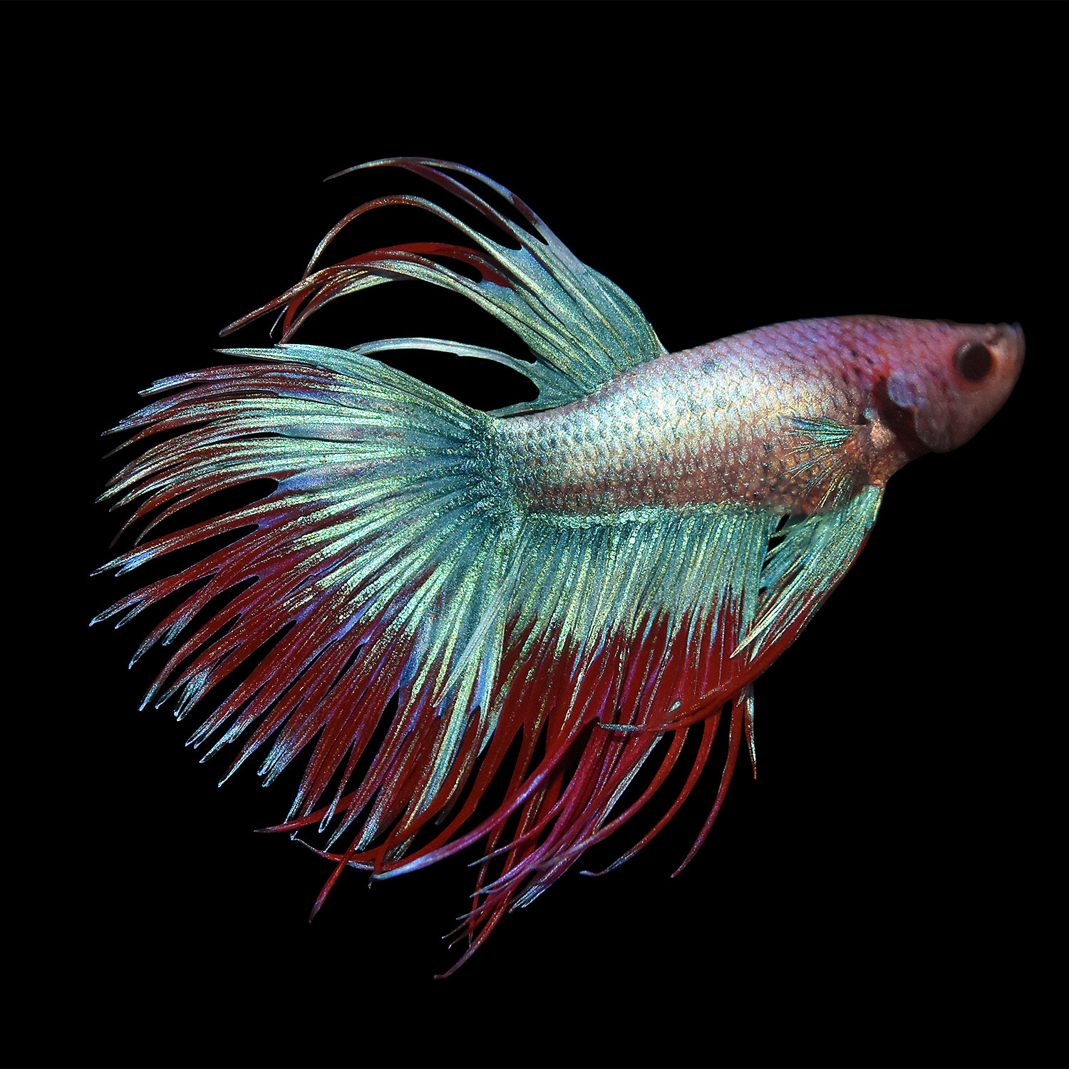 Siamese fighting fish betta betta splendens fish guide for Crowntail betta fish