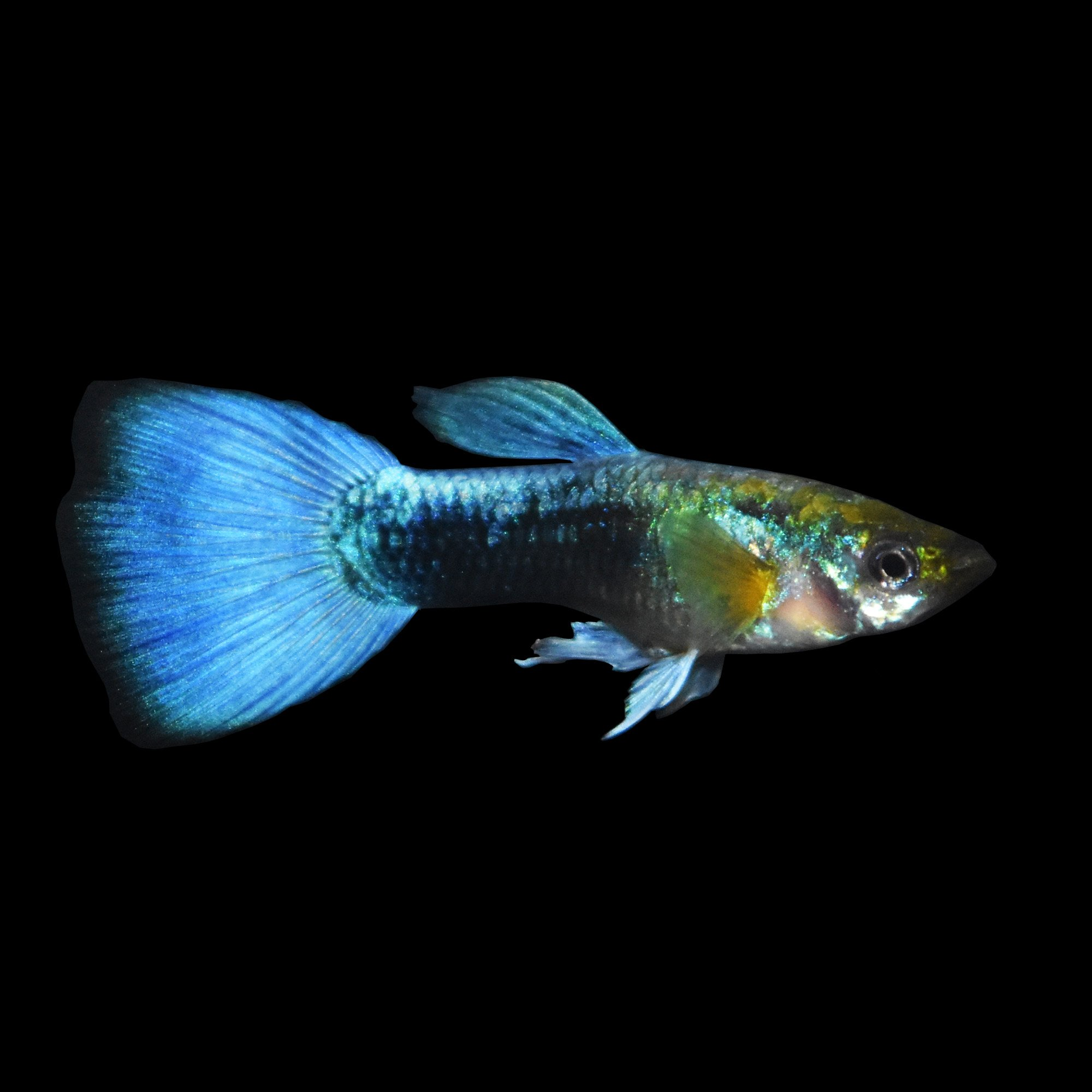 Blue neon guppy petco for Blue freshwater fish