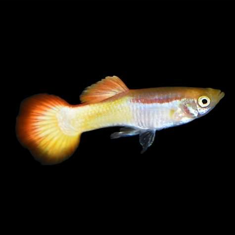 Sunrise guppy petco for Freshwater fish petco