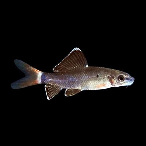 Redtail shark petco for Freshwater fish petco