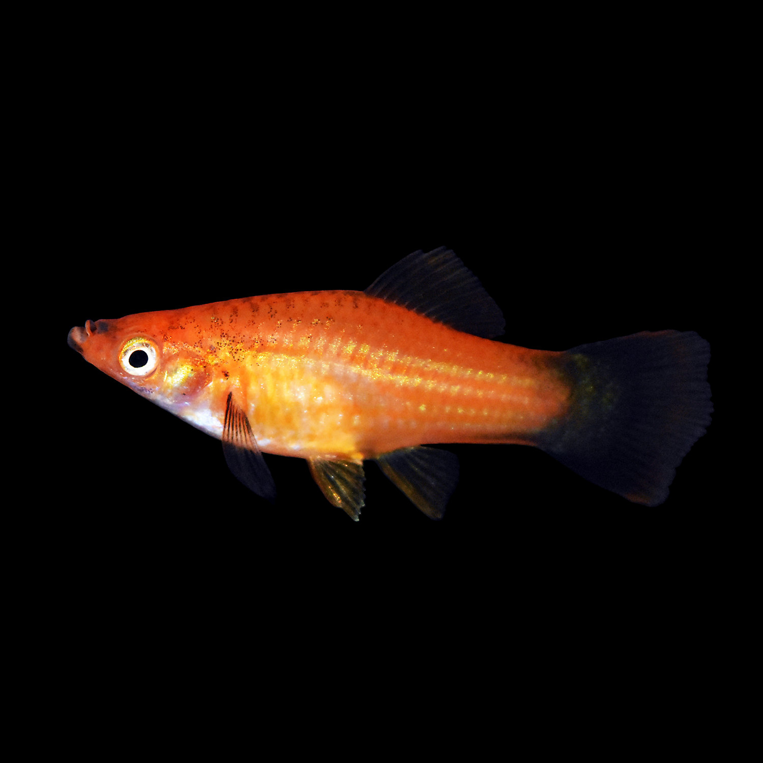 Red Wag Swordtail X Small