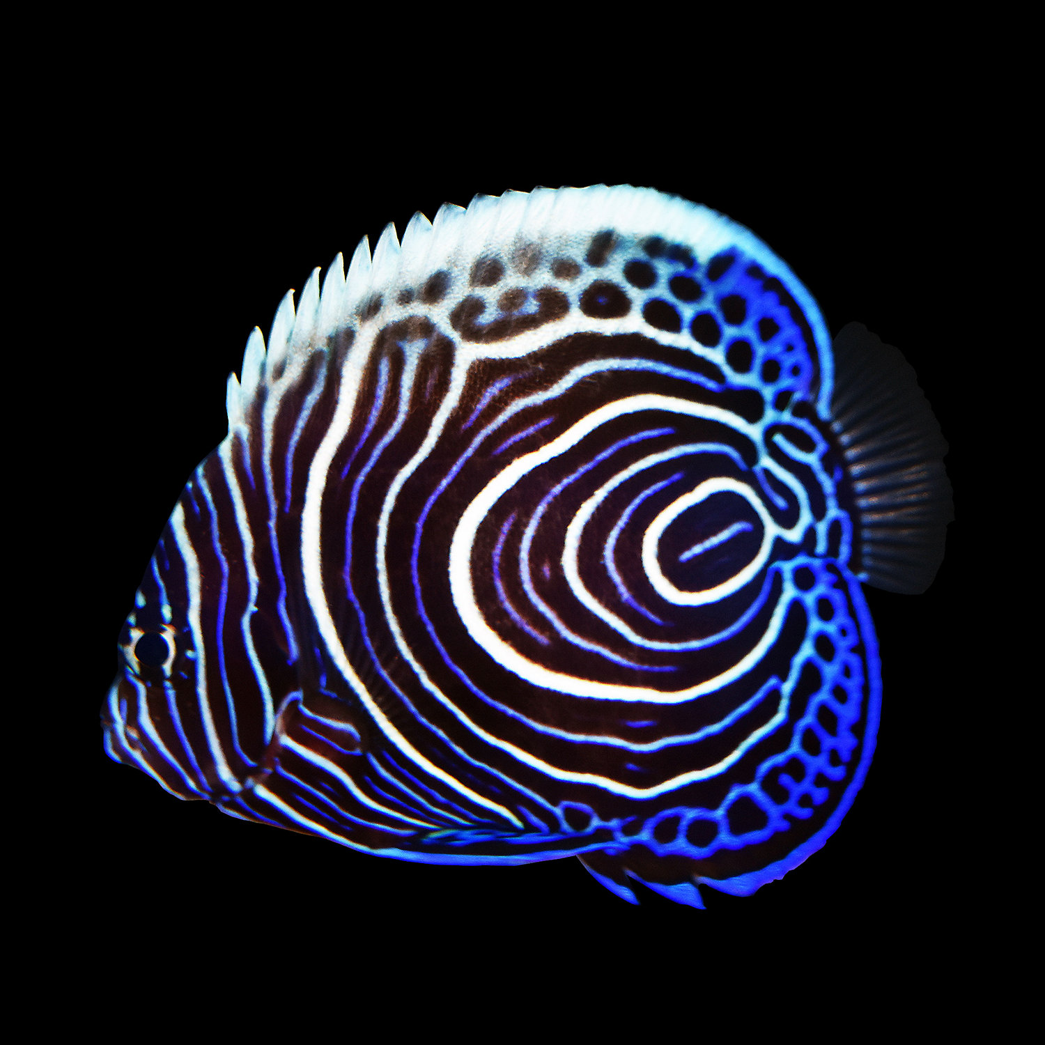 Imperator Angelfish Juvenile Medium