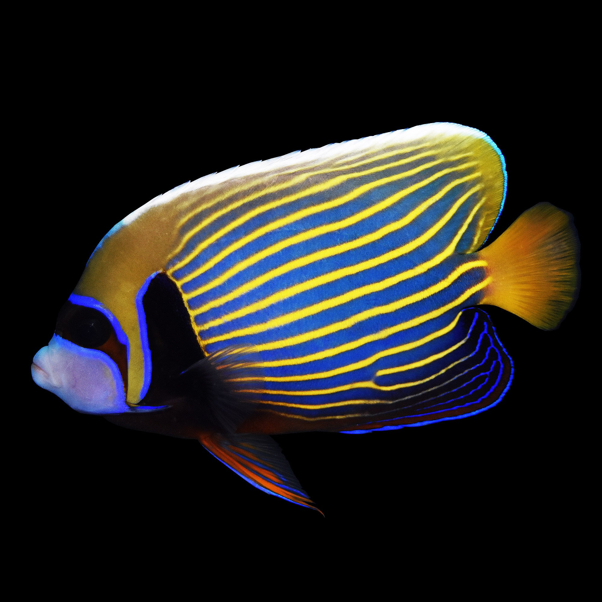 Emperor angelfish imperator angelfish adult small for Petco live fish