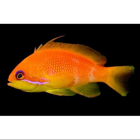 Female lyretail anthias petco for Petco saltwater fish