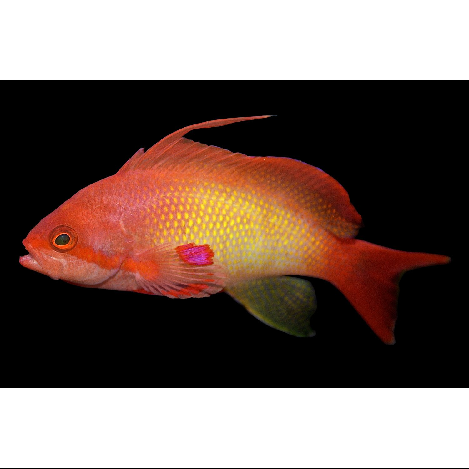 Lyretail anthias male petco for Petco live fish