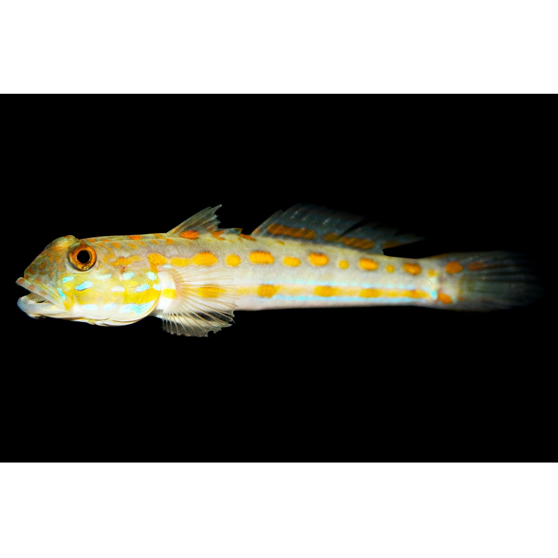 Diamond goby petco for Petco fish prices