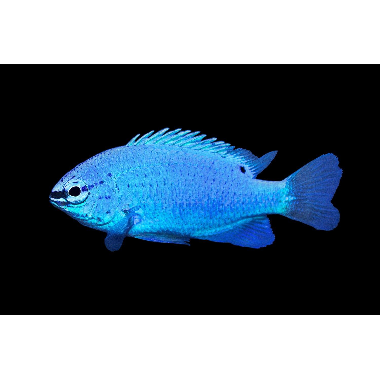 Damselfish blue damselfish female petco for Live saltwater fish