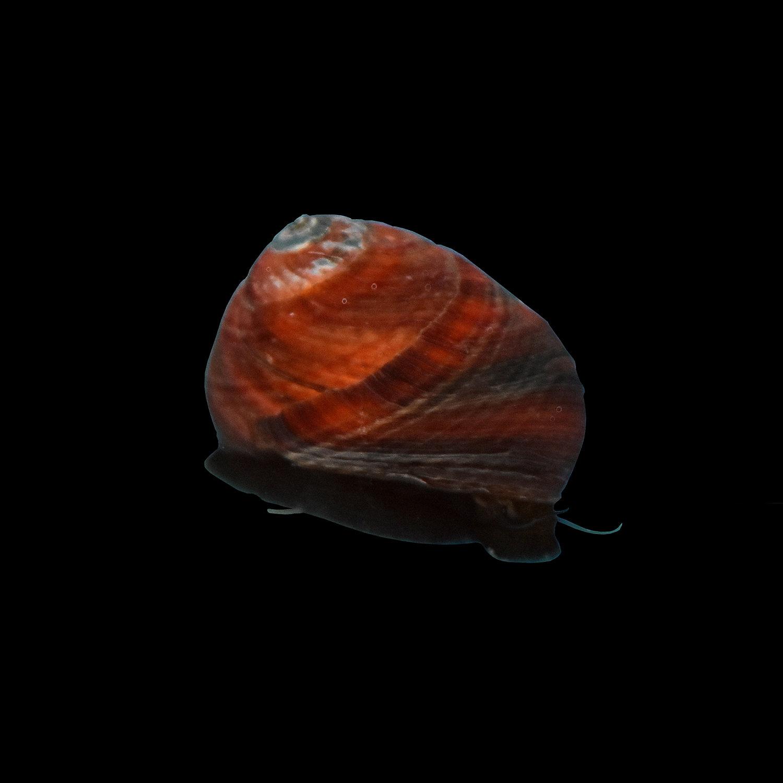 Nerite Snail Nerita Sp. Small