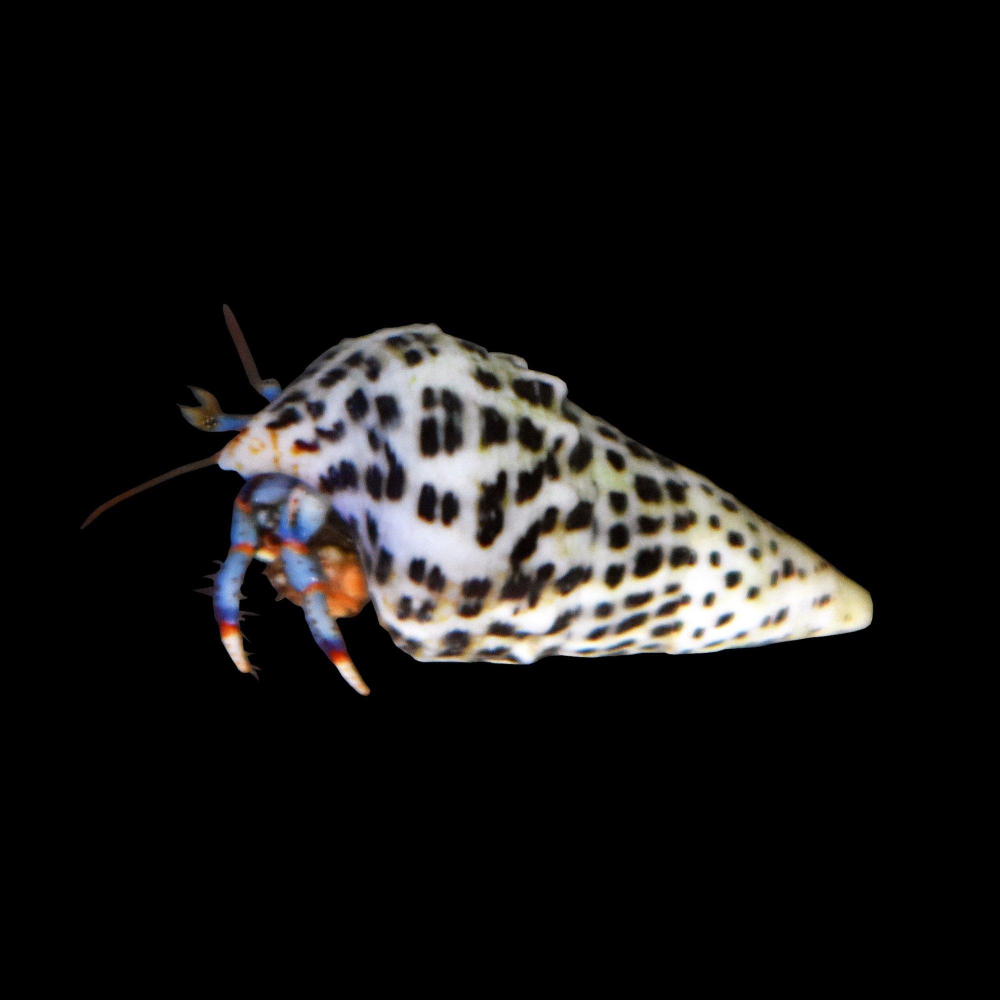 blue leg hermit crab | petco