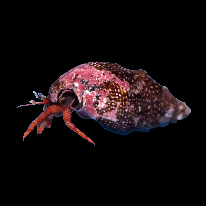 Red Leg Hermit Crab Clibanarius Diguetti