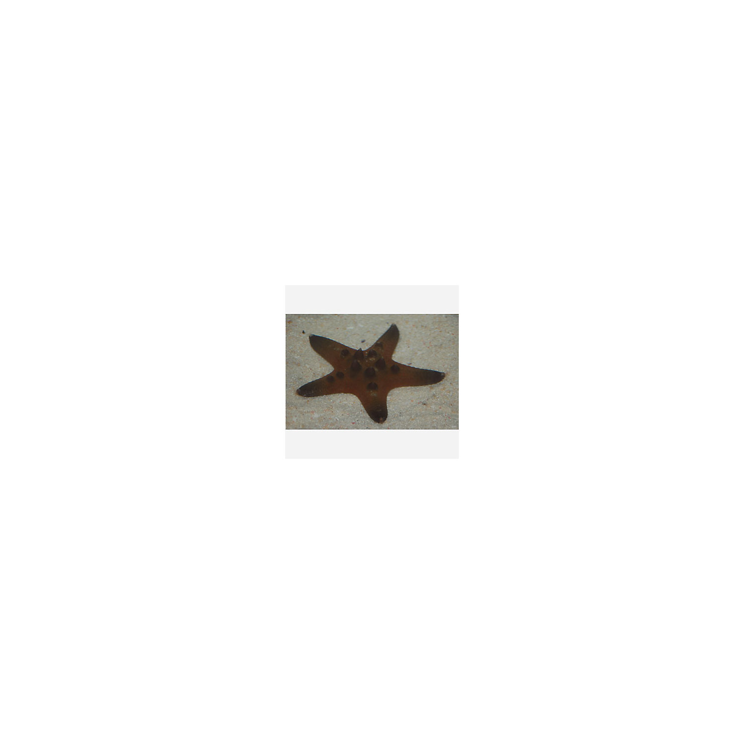 Chocolate Chip Starfish X Small