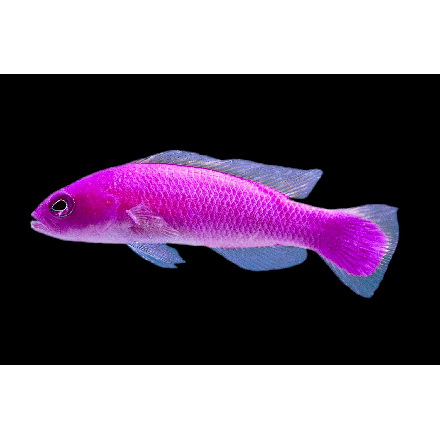Strawberry dottyback petco for Petco saltwater fish