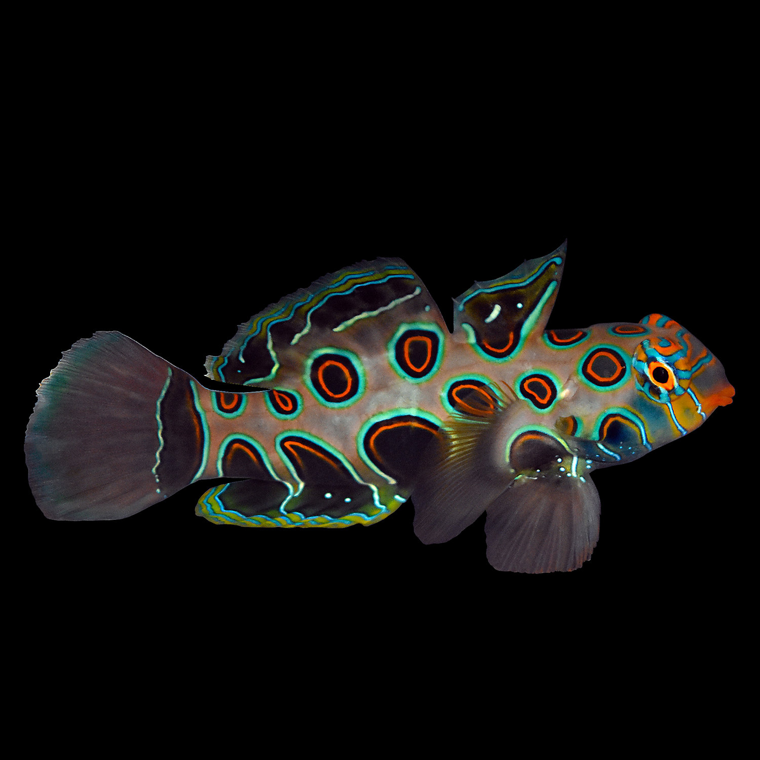 Spotted Mandarin Goby Large