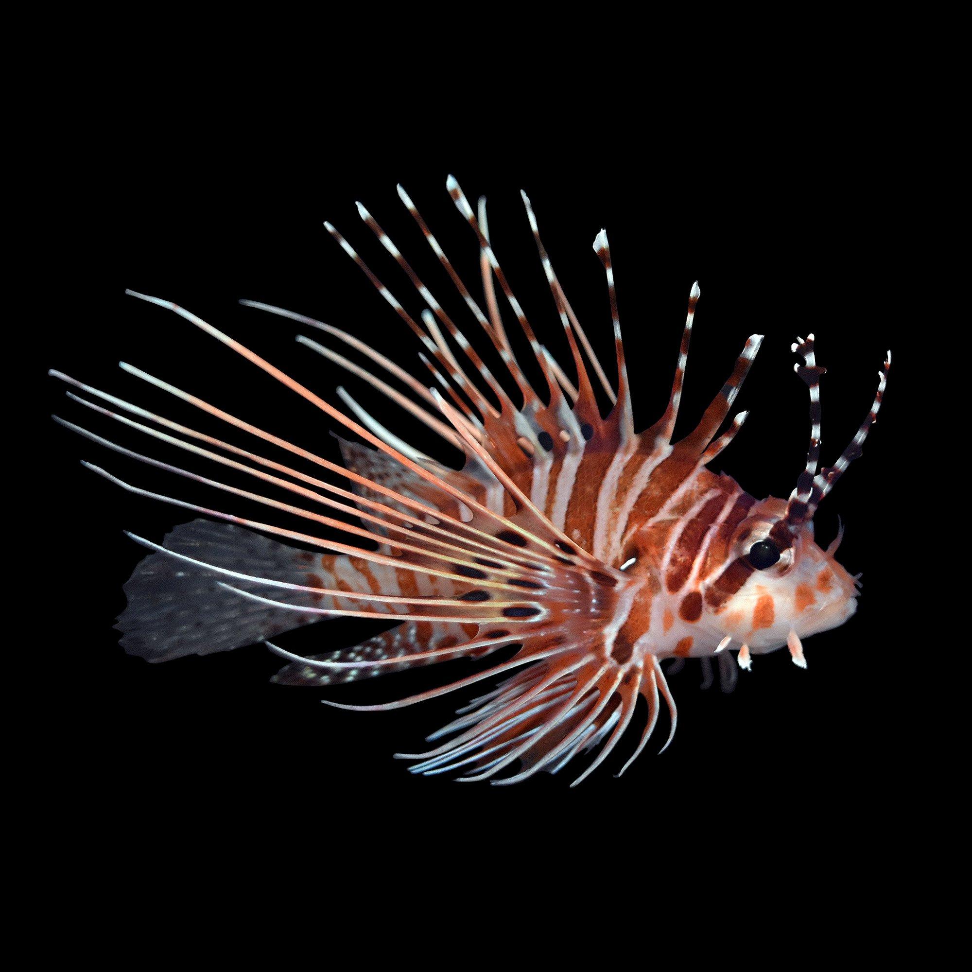 Antennata lionfish petco for Petco saltwater fish
