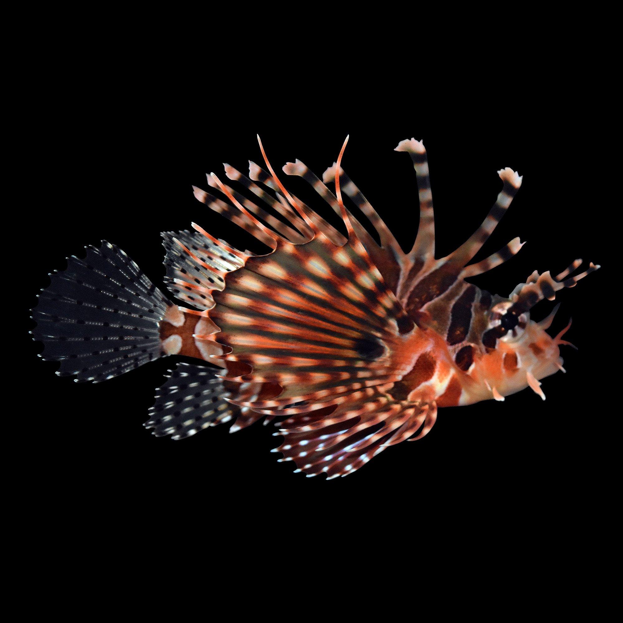 Dwarf zebra lionfish petco for Petco saltwater fish