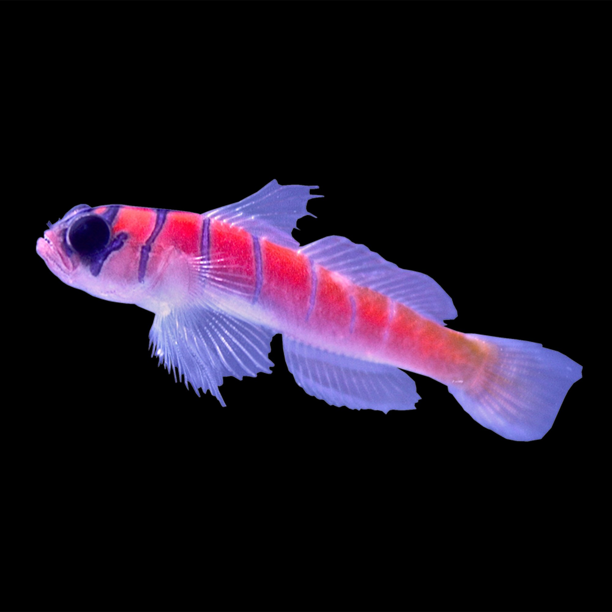 Catalina goby petco for Petco fish sale