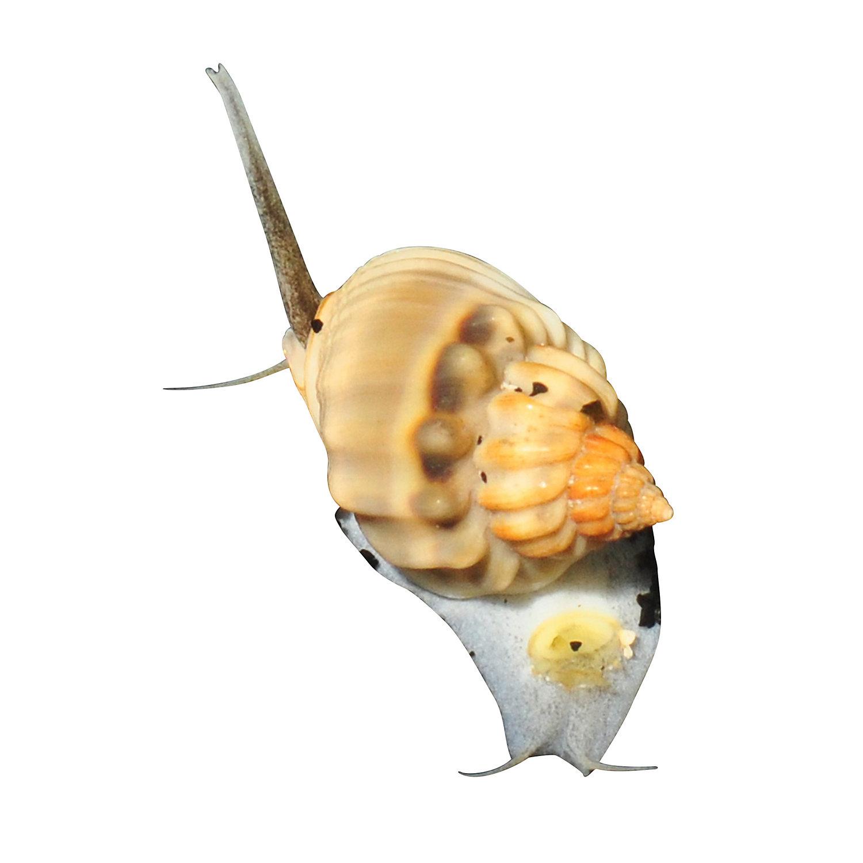 Nassarius Snail Nassarius Sp. Small