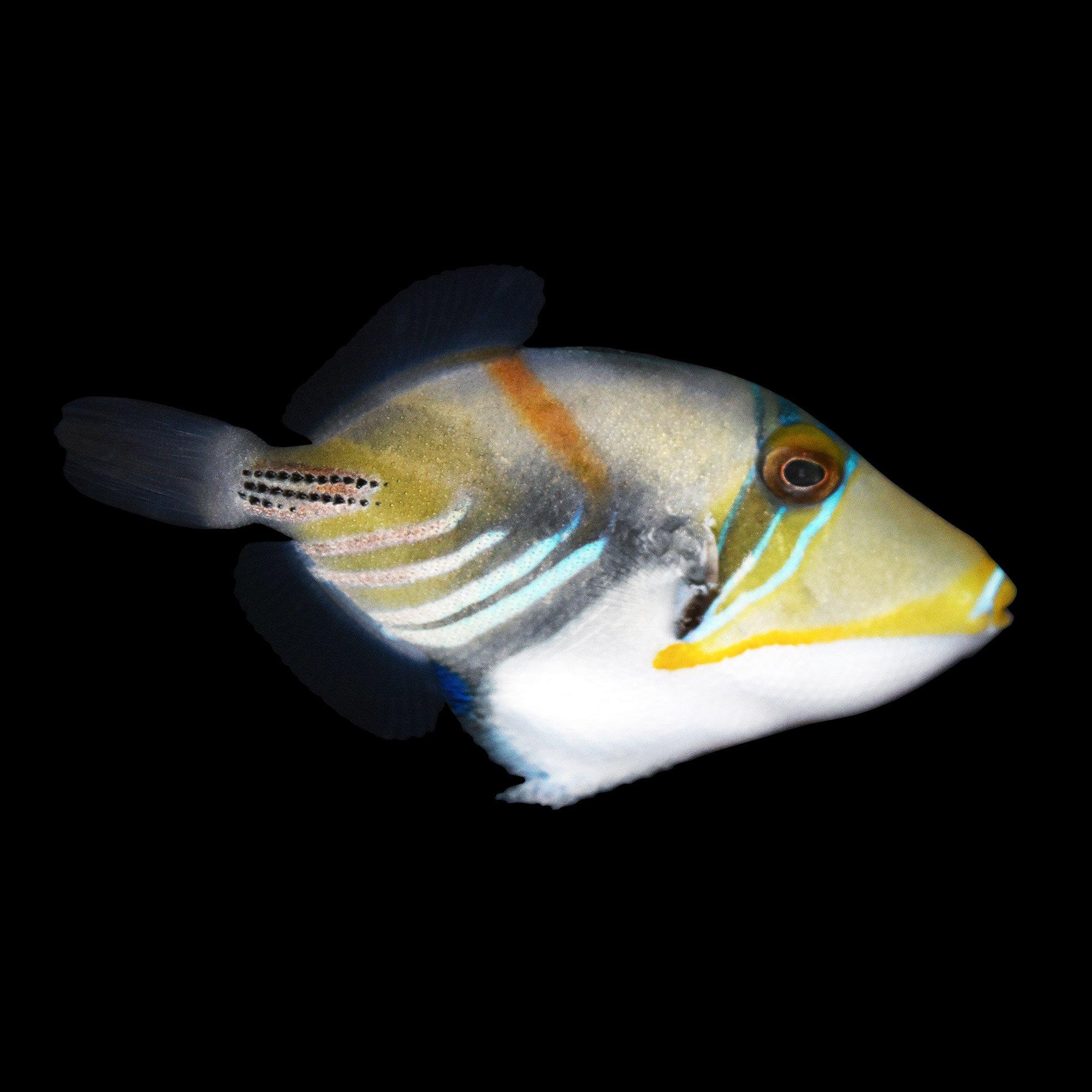 Humuhumunukunukuapua 39 a humu picasso triggerfish small for Petco fish prices