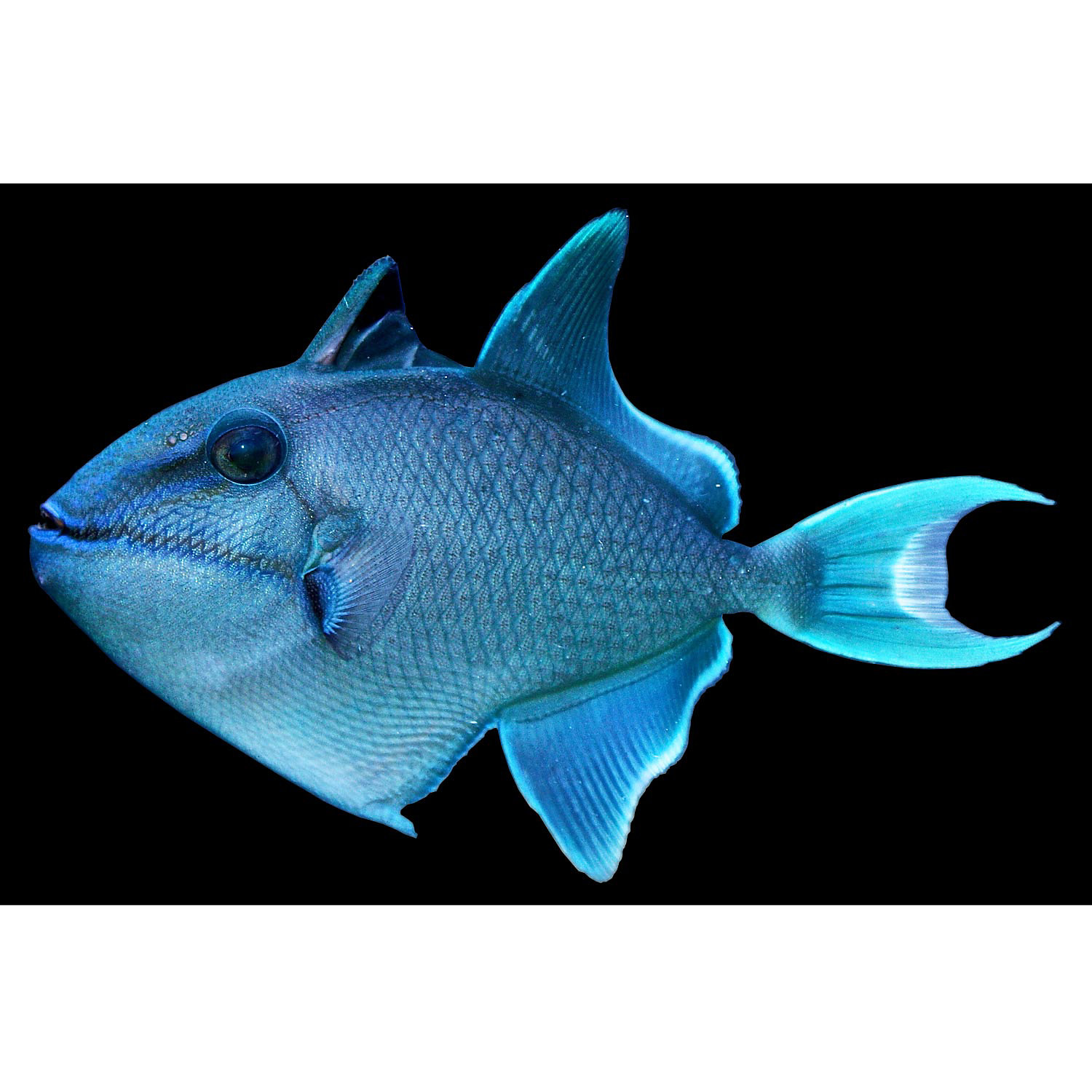 Blue triggerfish black triggerfish redtooth triggerfish for Does petco sell fish